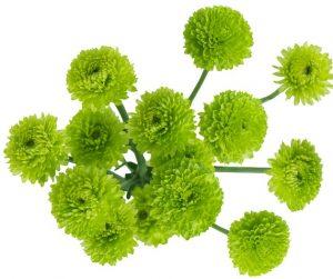 santinis fleurs vertes